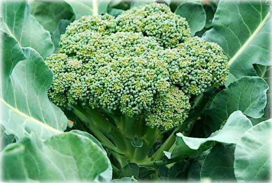 Капуста брокколи ф1 мачо выращивание 2