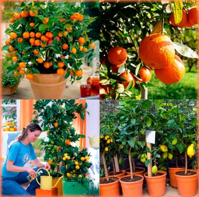 Как вырастить апельсины в домашних условиях из косточки 524